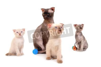 Naklejka Czarny Kot Z Czystej Sfinks Trzy Kocięta Na Białym Tle
