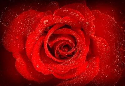 Naklejka Czerwona róża kwiat z kroplami wody