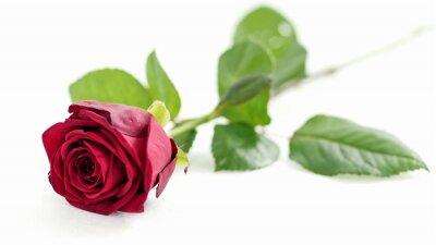 Naklejka czerwona róża na białym tle, płytkie głębi pola