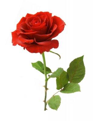 Naklejka Czerwona róża z liśćmi samodzielnie na białym tle