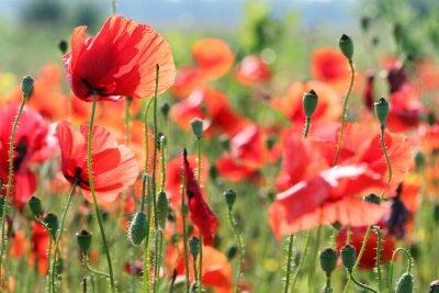 Naklejka czerwone maki kwiat łąki wiosna