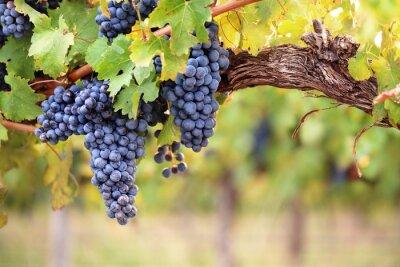 Naklejka Czerwone wino z winogron na starych winorośli