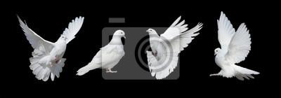 Naklejka Cztery białe gołębie