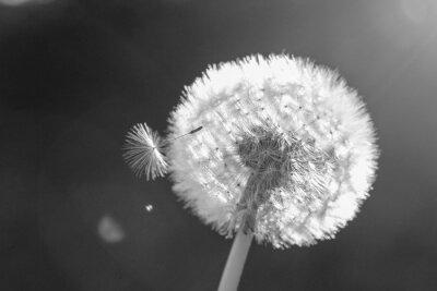 Naklejka Dandelion in the wind