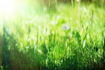 Naklejka dandelion on grass