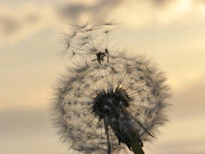 Naklejka Dmuchawiec nasion przed zachodem słońca niebo