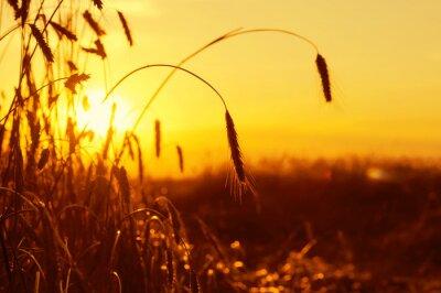 Naklejka Dojrzałe kłosy żyta w zachodzącym słońcu