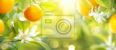 Naklejka Dojrzałe pomarańcze lub mandarynki wiszące na drzewie. Zdrowe ekologiczne soczyste owoce rosnące w słonecznym sadzie
