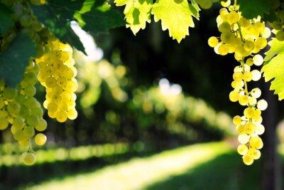 Naklejka dojrzałych winogron