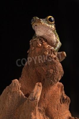 Naklejka drzewa żaba siedzi w nocy w lesie deszczowym amazon dżungli Ameryki Południowej. Piękne cute noc zwierząt z pięknymi dużymi oczami.