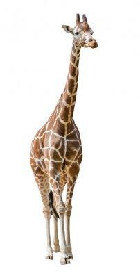Naklejka Duża żyrafa na białym