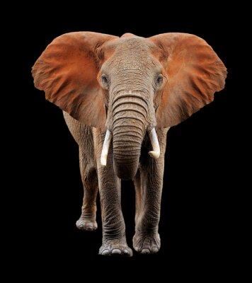 Naklejka Duży słoń na czarnym tle