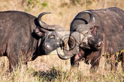 Naklejka Dwa cape ręczna walczących buffalo w wysokiej trawie