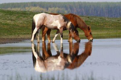 Naklejka Dwa dzikie piękne konie wody pitnej