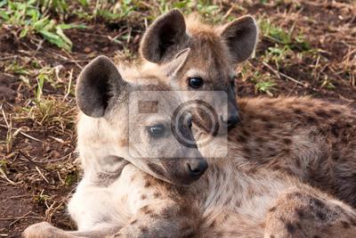 Dwa hiena leżenia
