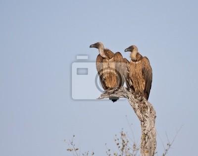 Naklejka Dwa sępy na drzewie siedzi w słońcu