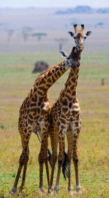 Naklejka Dwie żyrafy w sawanny. Kenia. Tanzania. Wschodnia Afryka. Doskonałą ilustracją.