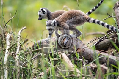 Dziecko Pierścień Tailed Lemury