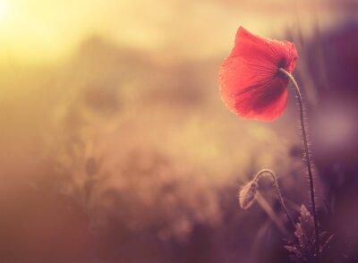 Naklejka dziki kwiat maku