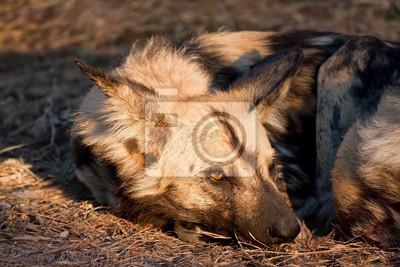Dziki pies leżący w na trawie w słońcu