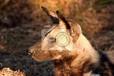 Naklejka Dziki pies leżący w na trawie w słońcu