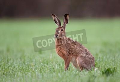 Naklejka Dzikie brązowy zająca z dużymi uszami siedzi w trawie