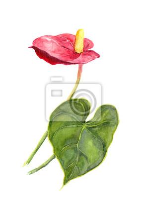 Egzotyczny kwiat - Anthurium. Akwarela