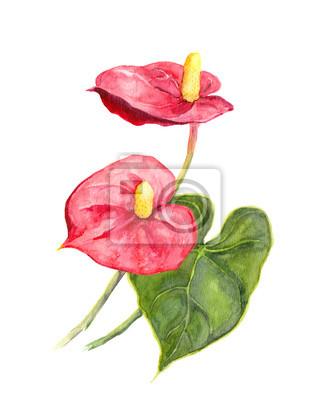 Egzotyczny kwiat - tropikalnych anturium. Akwarela