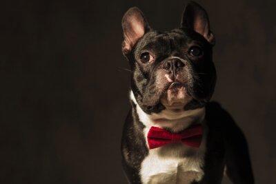 Naklejka elegancki french bulldog noszenie czerwony Muszka stwarzających