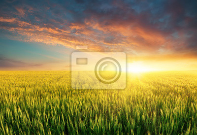 Filed during bright sunset. Agricultural landscape in the summer time