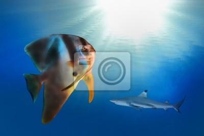 Naklejka Fin Spadefish (Platax Teira)