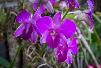 Naklejka fioletowe orchidee