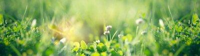 Naklejka Flowering clover in meadow, spring grass and clover flower lit by sunlight in spring