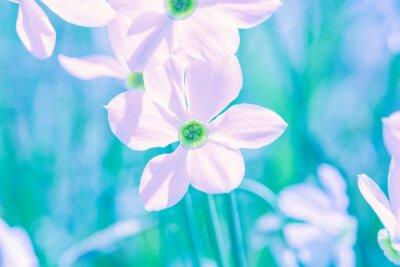 Flowers background. Blooming wild Narcissus plant. Floral spring nature background. Vintage color