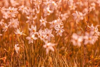 Flowers background. Blossoming wild Narcissus plant. Floral spring nature background. Vintage color