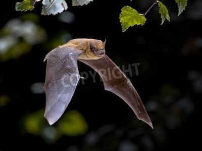Naklejka Flying Pipistrelle bat (Pipistrellus pipistrellus) action shot of hunting animal in natural forest background. This species is know for roosting and living in urban areas in Europe and Asia.