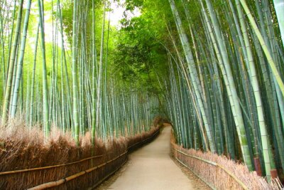 Naklejka Foret de bambou à Kyoto