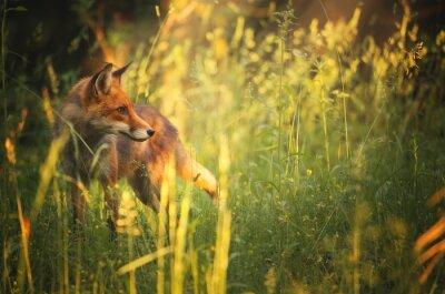 Naklejka Fox w lesie latem