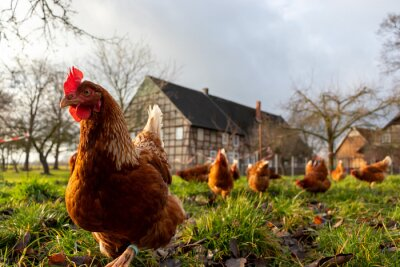 Naklejka Free range organic chickens poultry in a country farm, germany