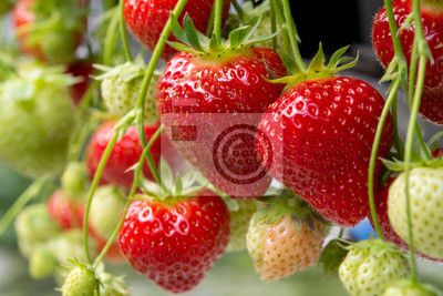 Naklejka Fresh tasty ripe  red and unripe green strawberries growing on strawberry farm