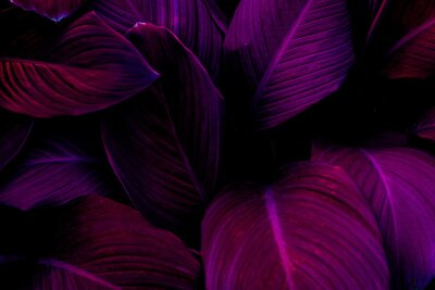 Naklejka Full Frame of Purple Leaves Texture Background. tropical leaf