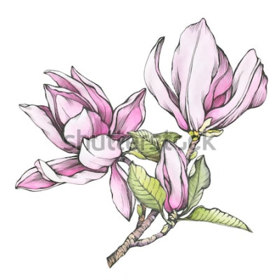Naklejka Gałąź purpurowa magnolia liliiflora (zwana także Mulan magnolia) z kwiatami i liśćmi. Zarys ilustracji z ręcznie rysowane akwarela malarstwo, na białym tle.