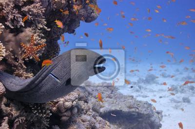 Naklejka Giant Moray w Morzu Czerwonym