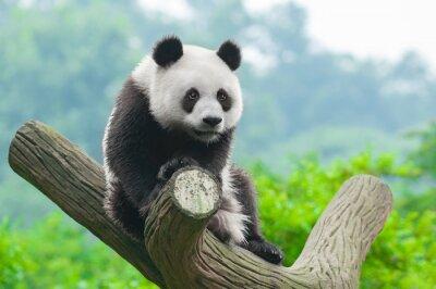 Naklejka Giant panda bear wspinaczki w drzewo