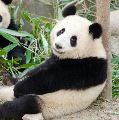 Naklejka Giant Panda, Sub-dorosły. Chengdu, Chiny