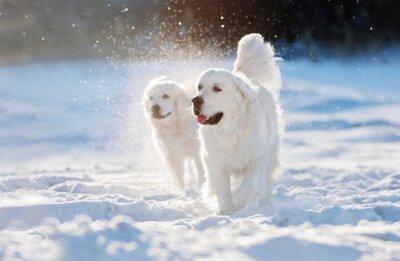 Naklejka golden retriever pies idzie w śniegu