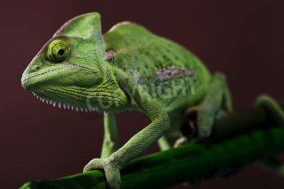 Naklejka Green Chameleon closeup