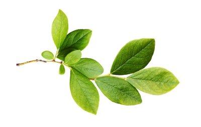Naklejka Green leaves of blueberry