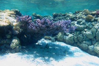Naklejka grosse lila Koralle