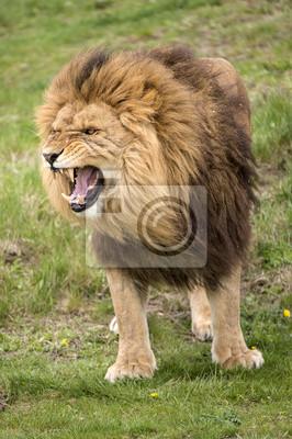 Naklejka Growling Lion